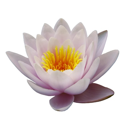 Beautiful water lily isolated on the white
