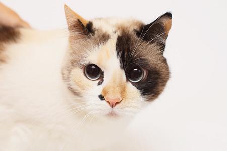 eyeing: Blue eyed Cat