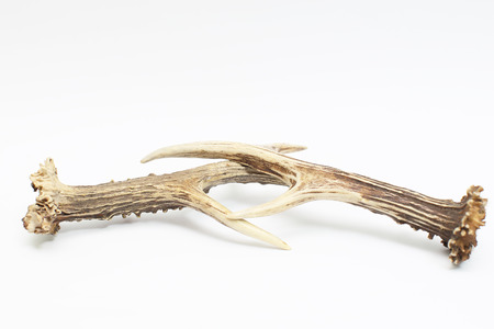 elk point: Deer horns isolated on the white background. Stock Photo