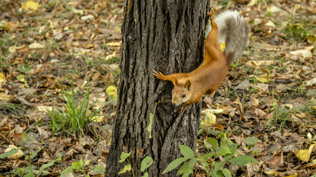 Red squirrel prepares to jump from the tree trunk.