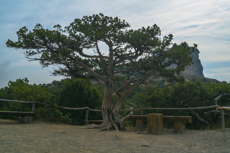 relict: relict juniper grove in the mountains of Crimea