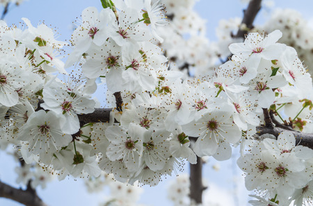 apricot tree: Flowering apricot tree branches close up spring
