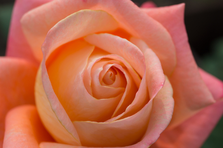 The picture rose in the garden close-up Stock Photo
