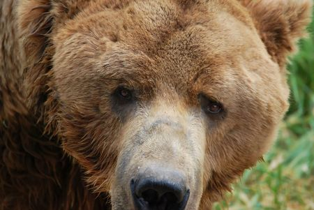 The wild hungry brown grizzly bear is hunting. Close up portrait.