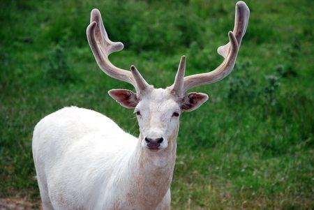 It's rear specimen of a white albino deer.