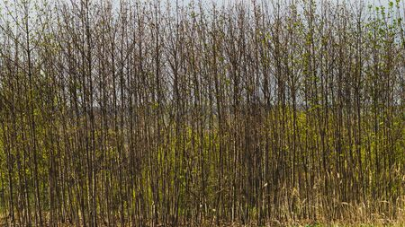 Hedge with branches and buds background. Plants with burgeons. blossom nature backdrop Reklamní fotografie