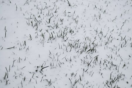 Green grass under the snow. lawn covered with snow background. snow and grass texture