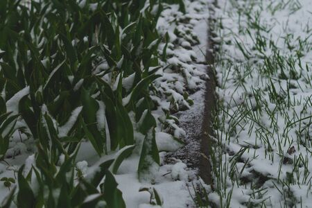 Green grass under the snow. grass covered with snow background