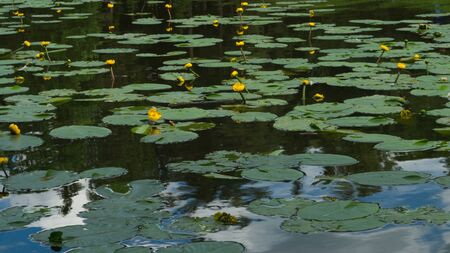 Yellow waterlilies in a pond background. nature backdrop Archivio Fotografico - 129827985
