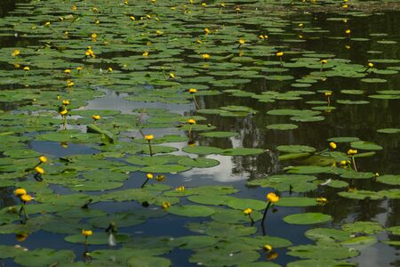 Yellow waterlilies in a pond background. nature backdrop