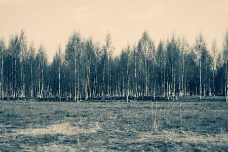 Field and the forest with birch trees nature background. meadow near the wood