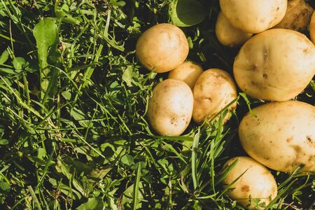 Fresh young potato lies on the grass. raw vegetables. healthy eating. vegetarian food. vegetables from the garden Stok Fotoğraf