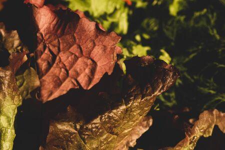 Lettuce salad leaves. organic vegetables. vegetarian nutrition. healthy food