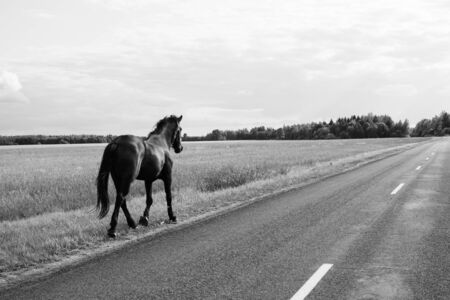Lonely horse walks on the road. runaway horse in the countryside. black and white Standard-Bild