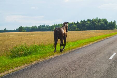 Lonely brown horse walks along the road. runaway horse in the countryside