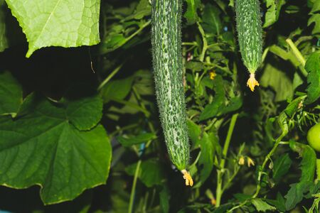 Cucumber plant growing in greenhouse. Fresh vegetable hanging on branch. Organic food production. healthy nutrition