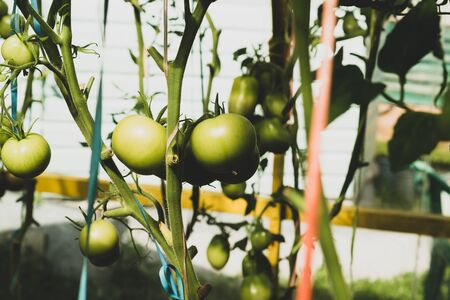 Tomato plant growing in greenhouse. Fresh vegetable hanging on branch. Organic food production. healthy nutrition