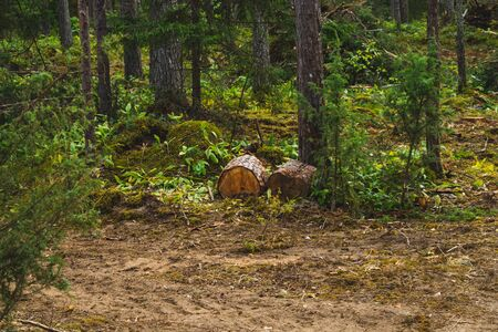 Wooden logs in the forest. tree stumps. nature landscape