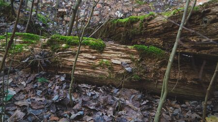 Log is covered with green moss in the woodland. overgrown forest