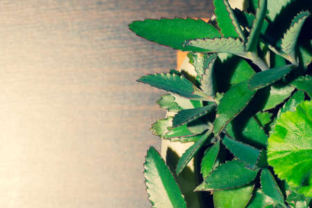 Green leaves of a home plant. succulent plant in a pot