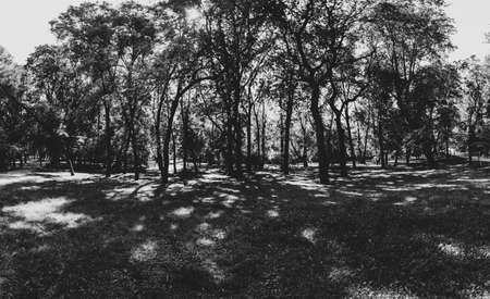 Trees in the park black and white. forest silhouette