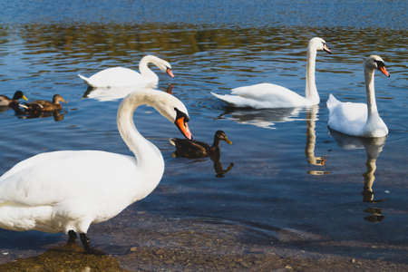 White swans swimming in the lake