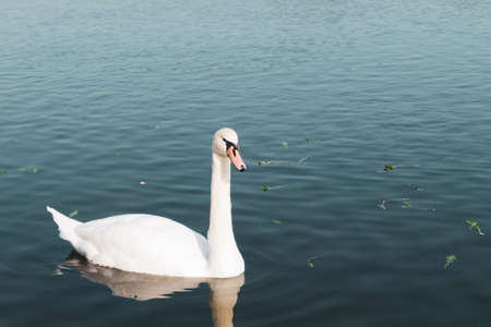 Lonely swan swimming in the lake