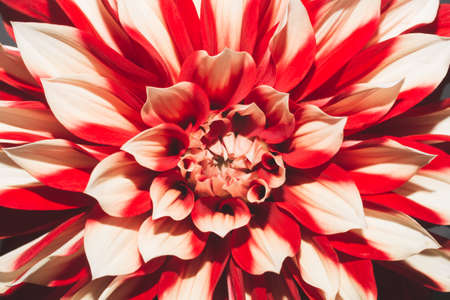 Dahlia flower with red and white petals close up Stock Photo