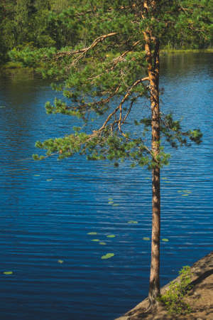 Pine tree on the lake shore. water surface. summer day Stock Photo