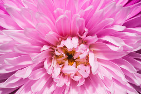 Chrysanthemum flower with pink petals close up Stock Photo