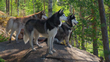 Husky on a walk. cute dogs in the park. domestic pets Stock Photo