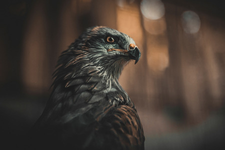 prey: The bird of prey