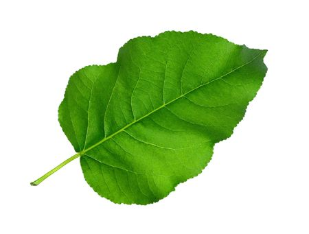Green leaf on white background photo