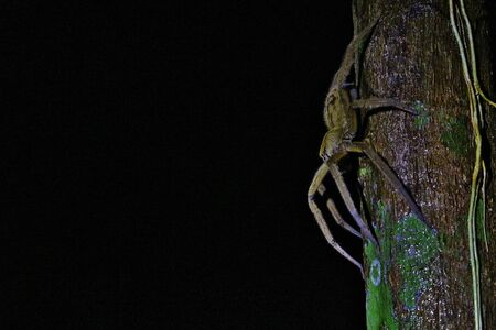 Wandering Spider by night