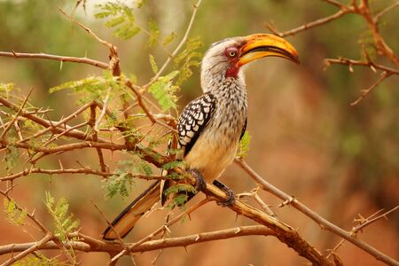 Southern yellow-billed Hornbill in South Africa