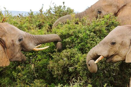 Happy Elephants eating from a Bush at Addo Elephant National Park