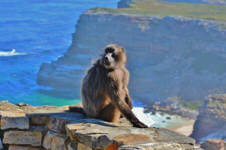 Stunning porttrait of Capuchin Monkey at Cape Point Foto de archivo