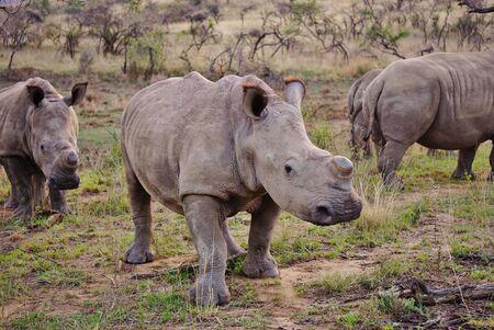 Rhinoceros walking through the savanna