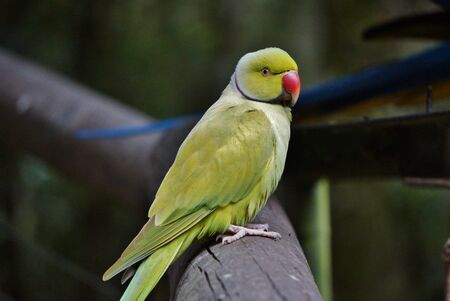 Beautiful Portrait of a Indian ring-necked parakeet