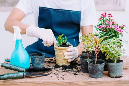 Concept of home gardening, Gardeners are planting seedlings in pots, Close-up