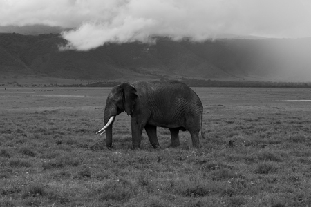 An Elepphant walking to the left with the dramatic scenery of the ngorongoro crater in the back with clouds rolling over the slopes