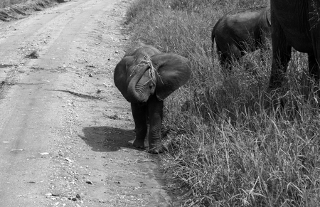 A baby elephant coming towards the onlooker with grass in its trunk, fooling around with the grass that is its food. Ordinary child behaviour