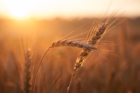 Field ripening wheat at sunset, beautiful natural landscape with sunlight. The concept of a rich harvest