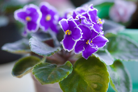 blossoming colorfull beautiful  violet closeup. home garden Reklamní fotografie