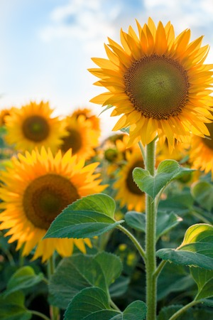 Beautiful sunflowers in summer close-up in sunlight, field and agriculture. Concept of harvest Reklamní fotografie
