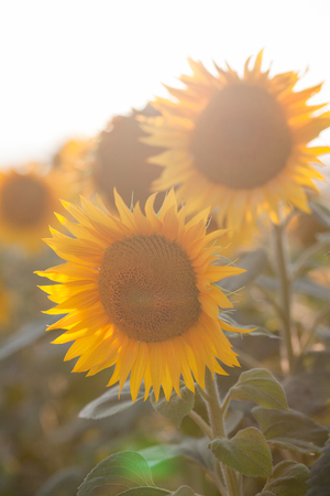 Field of sunflowers at sunset, close-up flowering yellow sunflower in the sun, concept of summer and harvest