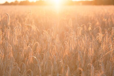 Field ripening wheat at sunset, beautiful natural landscape with sunlight. Agriculture and harvest