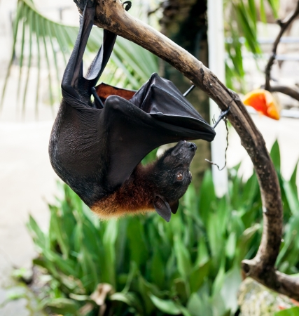 hangs: Flying fox hangs on tree branch