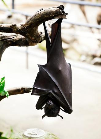hangs: Flying fox hangs on tree branch