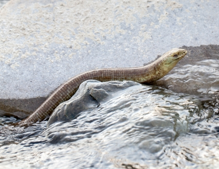natrix: Water snake waiting for prey in water Stock Photo